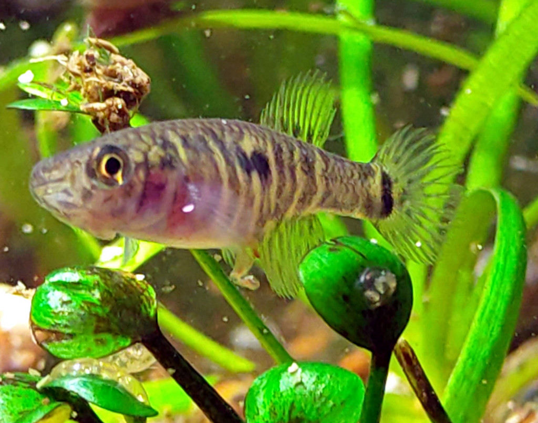 Nematolebias papilliferus nuori naaras